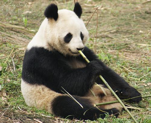 China Panda-Diplomatie